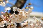 Nagasaki - Cherry Blossom