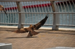 Nagasaki - Buzzard Picking Up French Fries