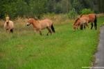 Przewalski's Horses 02