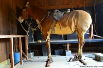 Taxidermy Horse