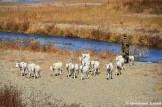 North Korean Soldier Herding Goats