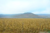 Corn Field In North Korea, Rason, DPRK
