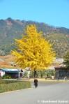 Ginkgo Tree In Sonbon, Rason, NorthKorea