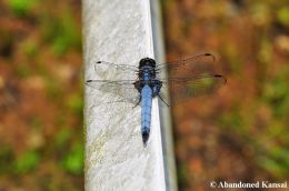 Big Blue Japanese Dragonfly