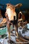 'Nailed' Moose