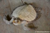 Taxidermy Sea Turtle