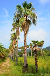Lots Of Palm Trees At The Shodoshima Peacock Garden