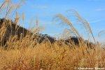 japanese-pampas-grass-chinese-silver-grass-eulalia-grass-maiden-grass-zebra-grass-susuki-grass-porcupine-grass