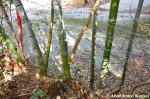 Barbed Wired Bamboo