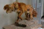 Taxidermy Fox