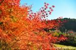 Japanese Red MapleLeaves