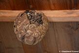 Empty Suzumebachi Nest