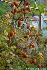 Unripe Kiwi Fruits