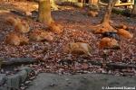 a dozen foxes