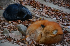 black fox and red fox