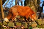 fox at kitsunemura