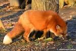 fox looking forfood
