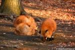japan fox village