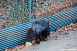 japanese fox