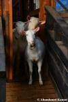 japanese goats