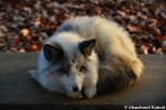 monochrome fox
