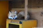 pet fox
