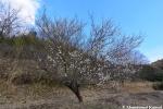 Nearby Cherry Tree In EarlyBloom